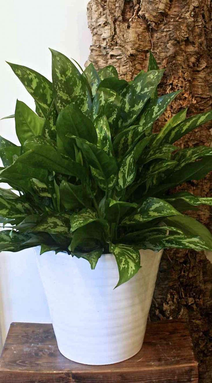 Silver Queen Chinese Evergreen Plant, Gardenista