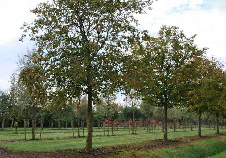 Solitair-carpinus-betulus-tree-gardenista