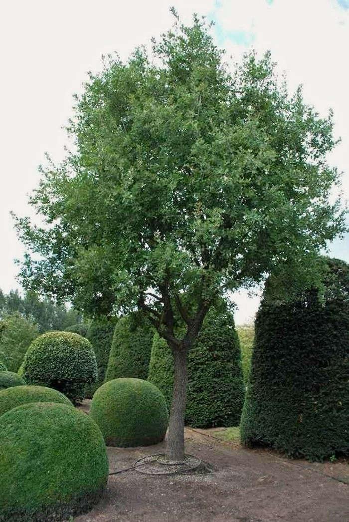 Shopper 39 s diary specimen trees and special shrubs from for Specimen trees