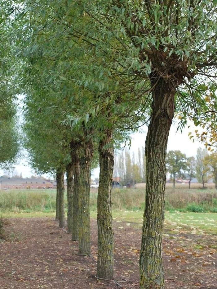 Solitar-salix-alba-trees-gardenista