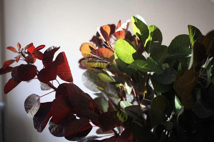 Sophia_Moreno_Bunge_Gardenista_Arrangement_Smokebush_Light