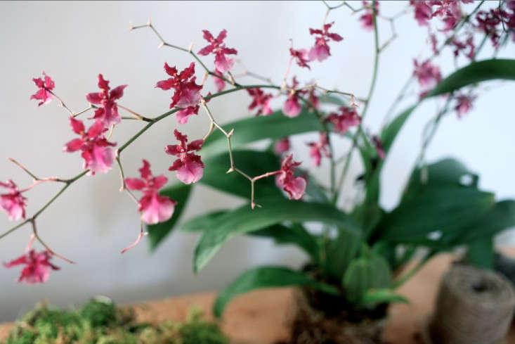 Sophia_moreno_bunge_Hanging_Orchid_DIY_Gardenista2