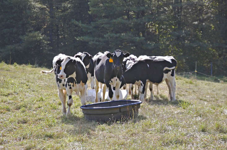 Sterling College in Craftsbury Vermont, young steers, by Justine Hand for Gardenista