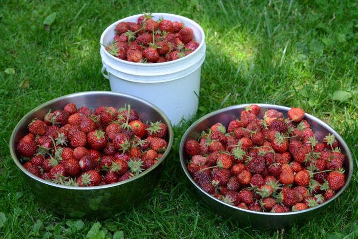 U-pickstrawberries