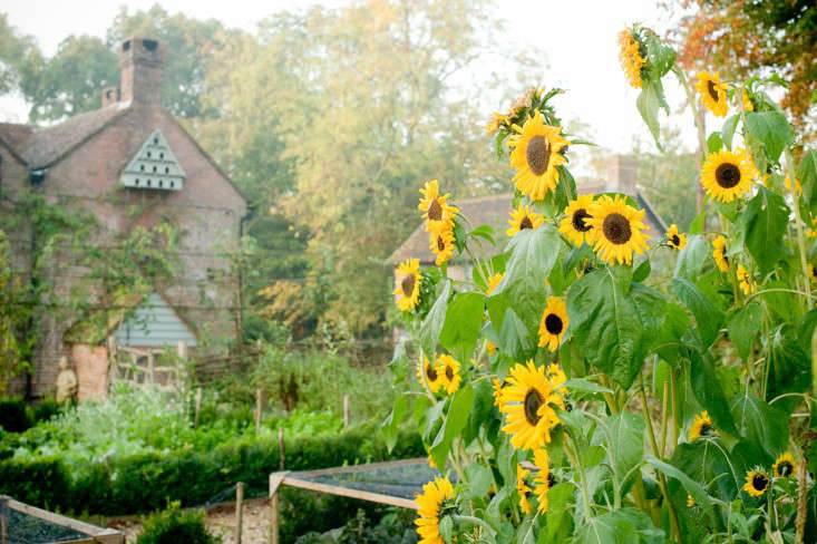 Walnuts-farm-Sussex-sunflowers