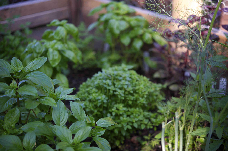 #1-bed-basil-laura-silverman-gardenista