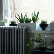 a_mikado-house-plant-in-window-sill