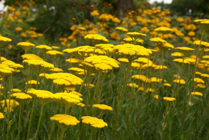 achillea-moonshine-yellow-yarrow-gardenista