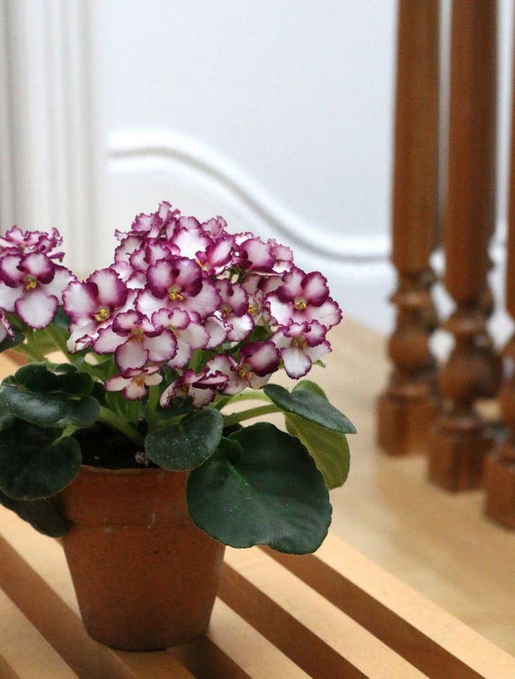 african-violet-1-erin-boyle-gardenista