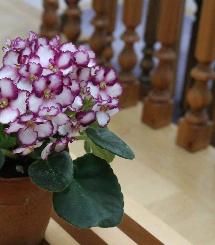 african-violet-2-erin-boyle-gardenista