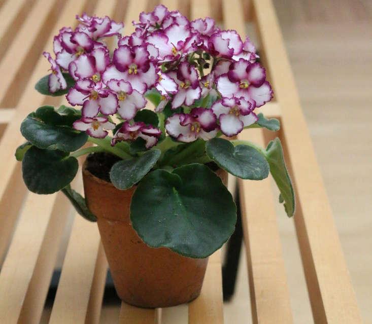 african-violet-3-erin-boyle-gardenista