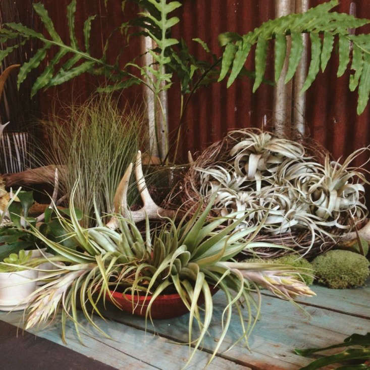 airplants-solabee-gardenista