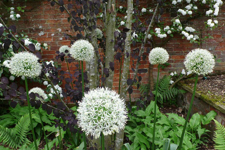 allium_white_cottesbrooke