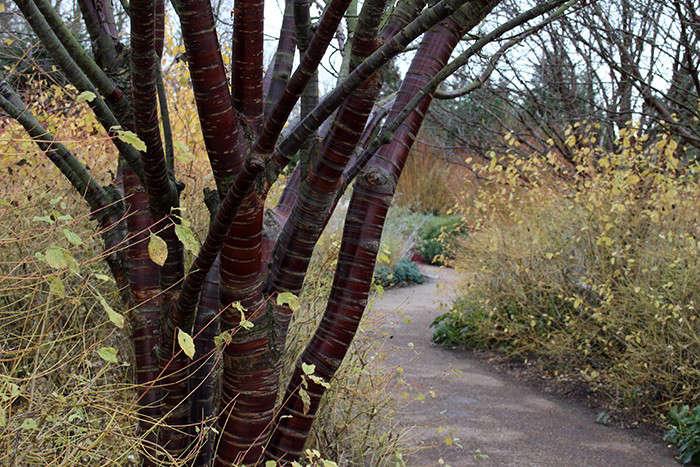 anglesey-abbey-tibetan-cherry-tree-gardenista