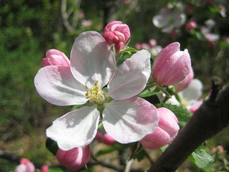 apple-flower-caroline-polgar