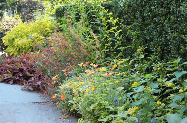 arctotis-marie-viljoen-gardenista