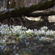 arne-maynard-garden-snowdrops-gardenista