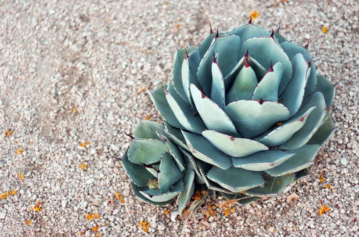 artichoke-agave-gardenista