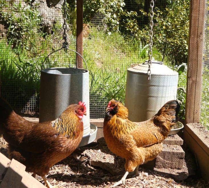 backyard-chicken-coop-chiquita-woodard-mill-valley-gardenista-6