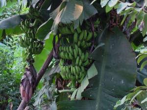 Banana fruit ripening on tree via India Garden ; Gardenista