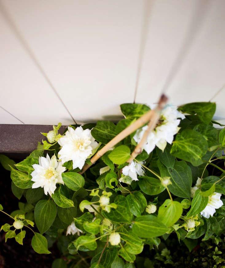barbara-chambers-clematis-vine-gardenista
