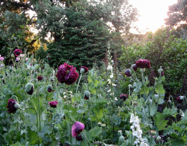 barfoot-black-poppies-torrecchia-vecchia-gardenista