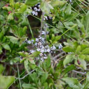 bayberries on the bush