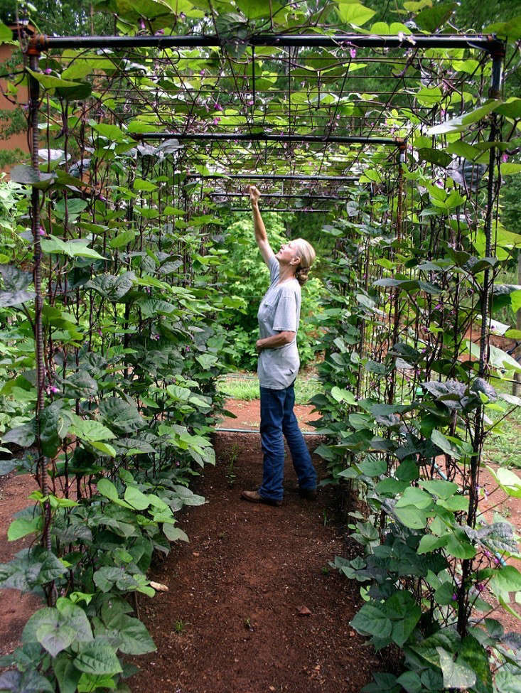 In the summer of \20\1\2, April (who is 5-foot-\10) is able to stand upright under a tunnel to harvest beans growing on the underside.