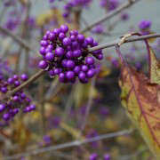 beauty-berry-flickr