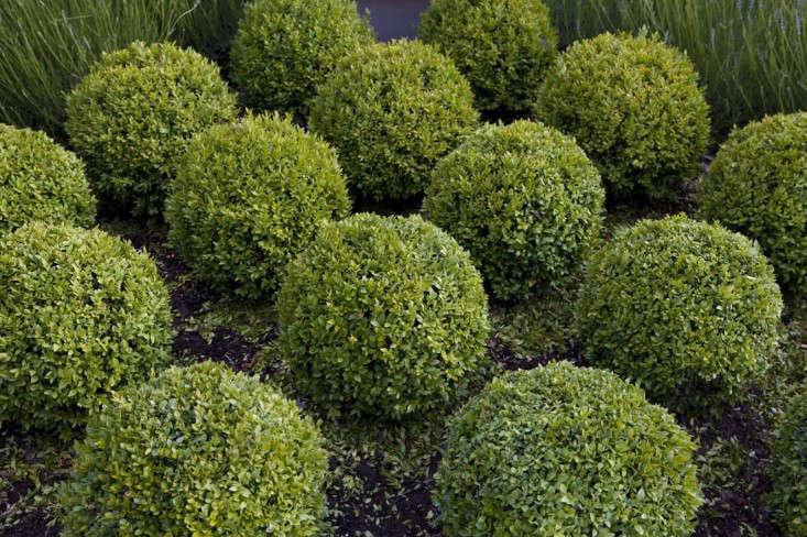boxwood-paul-bangay-gardenista