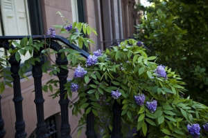 Brooklyn stoop wisteria ; Gardenista