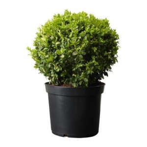 Boxwood sempervirens potted plant ; Gardenista