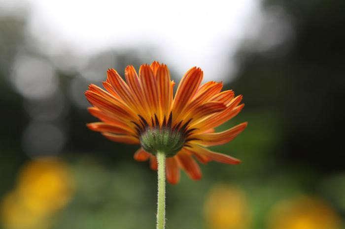 calendula-flashback-flower–gardenista