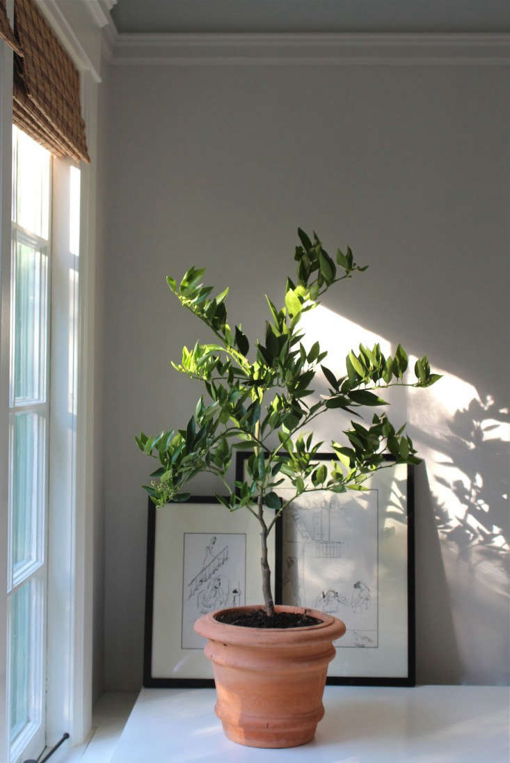 The Truth About Indoor Citrus Trees Hint They Belong