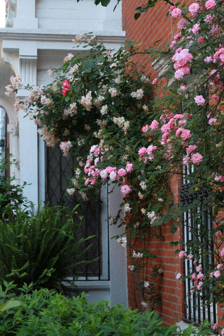 Z 233 Phirine Drouhin Gardenista