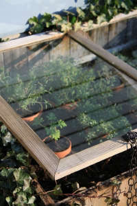 revive your cold frame with herbs | gardenista