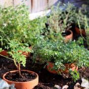 cold-frame-herbs-7-gardenista