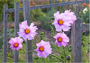 Cosmos in autumn by Gary Grossman l Gardenista