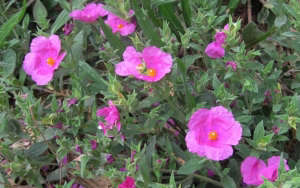 Creeping Rock Rose by Sierra Foothill Garden: Gardenista
