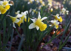 Wild daffodils, Dymock Woods, Glos. Gardenista