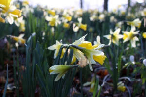 Wild daffodils of Dymock, Glos. Gardenista