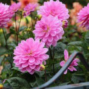 dahlia-garden-sf-conservatory-golden-gate-park