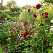 dahlias-staked-ben-pentreath-gardenista