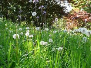 Dandelion weeds garden ; Gardenista