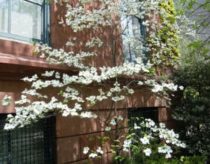 White dogwood tree Prospect Heights ; Gardenista