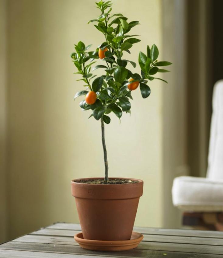 Nagami kumquat tree gardenista for Plante kumquat