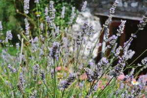 Erica Van Horn Lavender | Gardenista