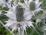 Eryngium Giganteum Miss Willmott S Ghost Gardenista