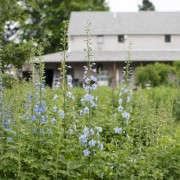 evas-garden-larkspur-christine-chitnis-gardenista