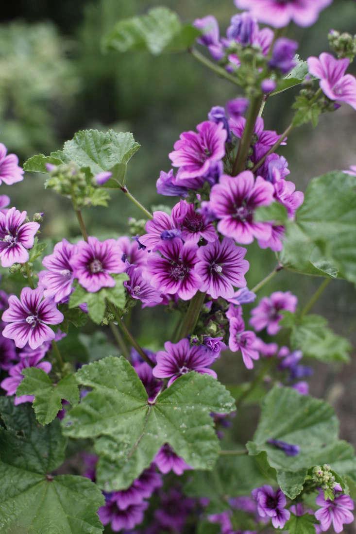 evas-garden-purple-flower-christine-chitnis-gardenista